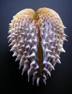 Acantocardia